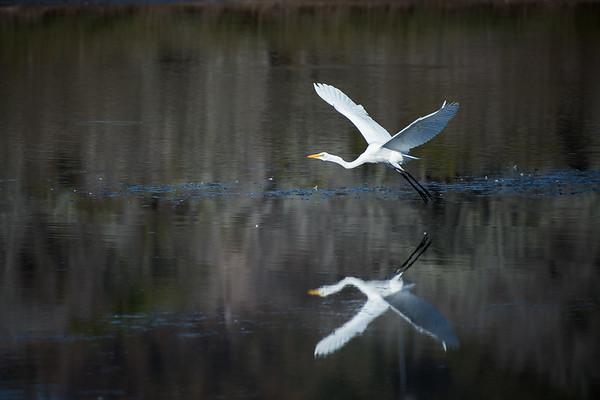 Egret Takes Flight Landscape