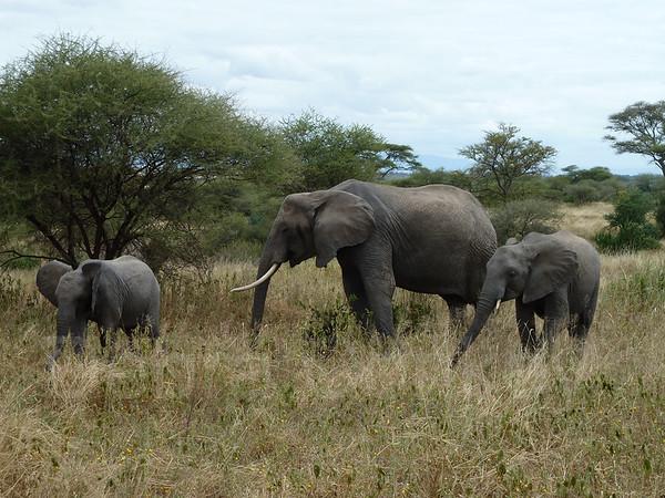 Elephant mom and two babies, Tarangire National Park, Tanzania, Africa