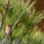 Beautiful red bird sitting on the pine tree branch.