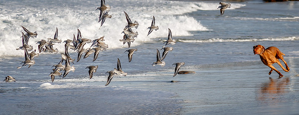 Dog Chasing Sandpipers