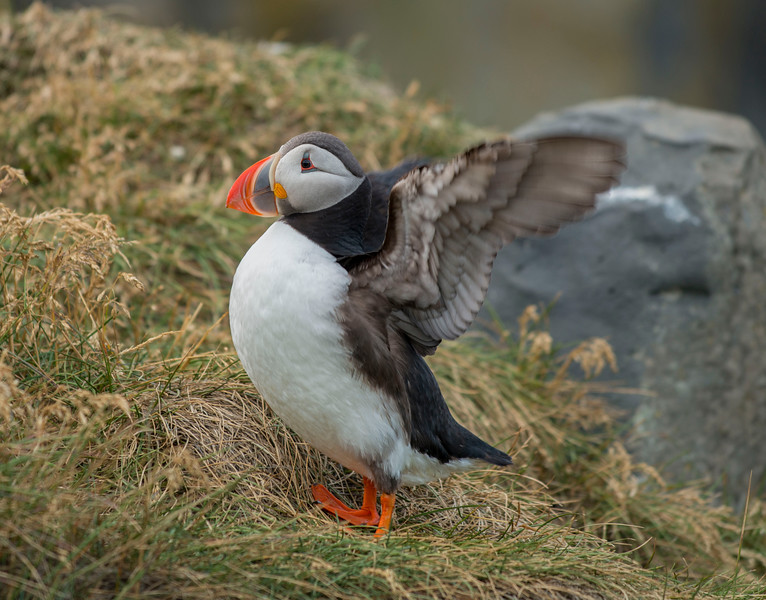 Flapping Puffin