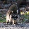 North American Raccoon View 2