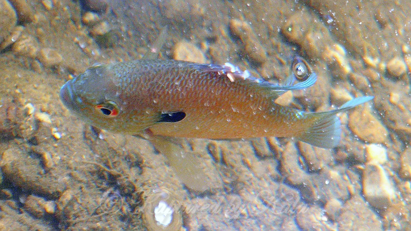 3 Longear Sunfish