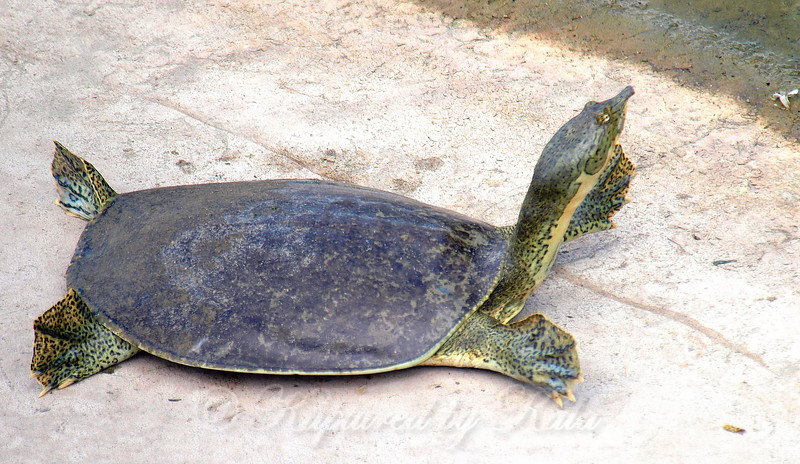 Another Large Softshell
