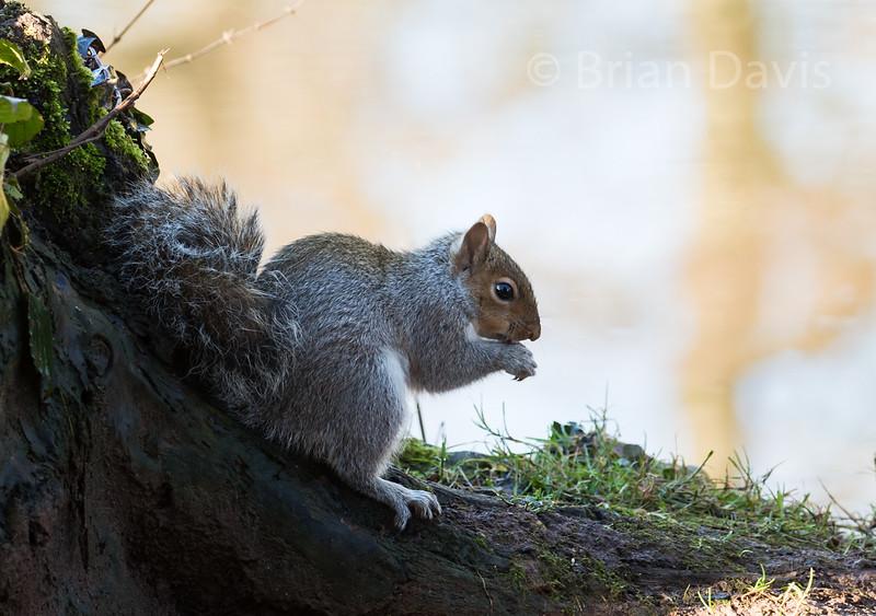 Grey Squirrel 7