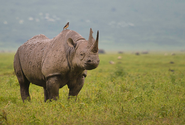 Rhino, Ngorongoro Conservation Area, Tanzania