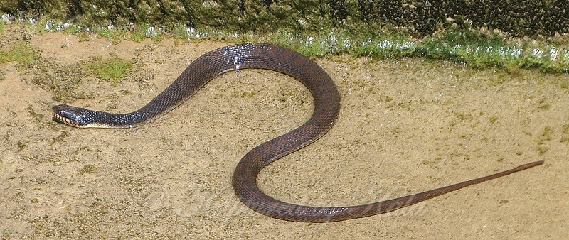 Plain-bellied Water snake  View 1
