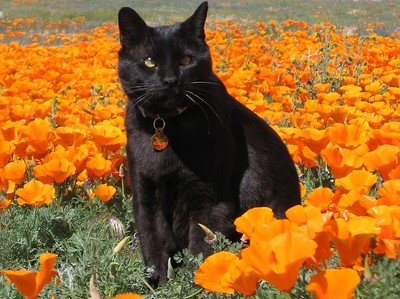 Max the Cat poses in the poppies at the Antelope Valley California Poppy Reserve near Lancaster California.