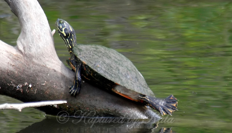 Strange Looking River Cooter
