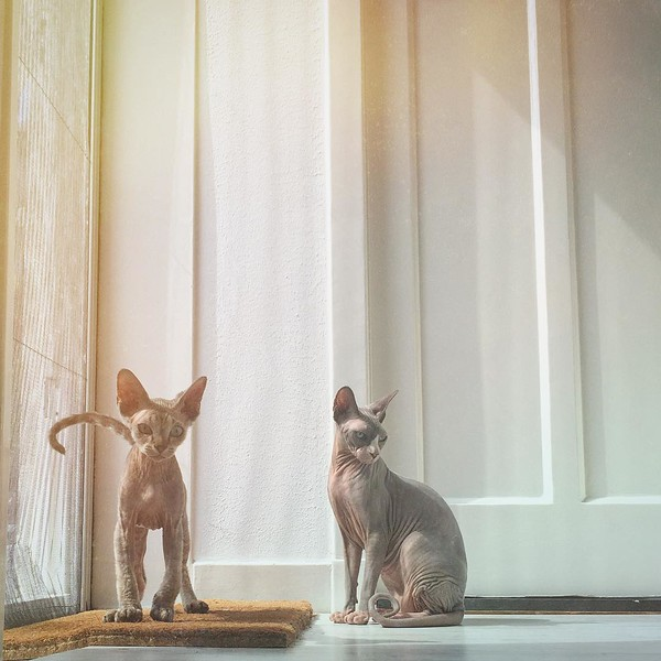 Sungazing #cats #sphynx #Dexter #Tasha