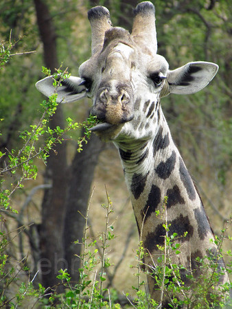 Humorous giraffe eating, Foothills of Kilimanjaro, Tanzania, East Africa