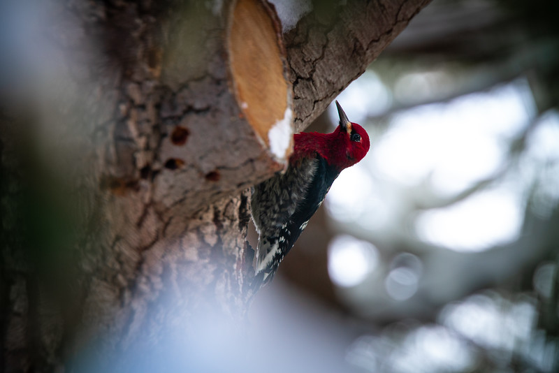 woodpecker-on-tree