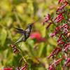 081416 NPC Garden - Hummingbird and Cuphea - Salinas 014 5x7P