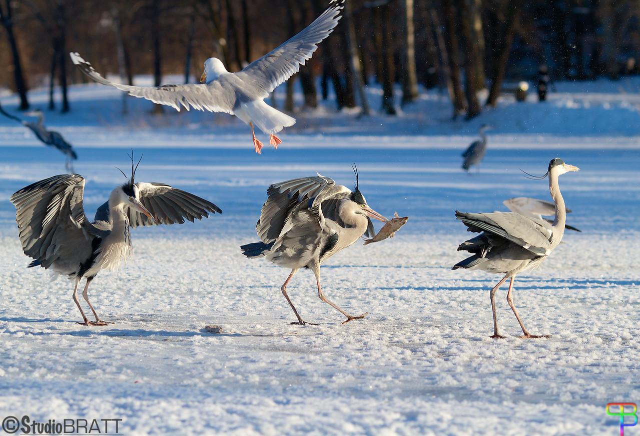 Feedingtime - Heron at Råstasjön<br /> Matning av Häger - Råstasjön