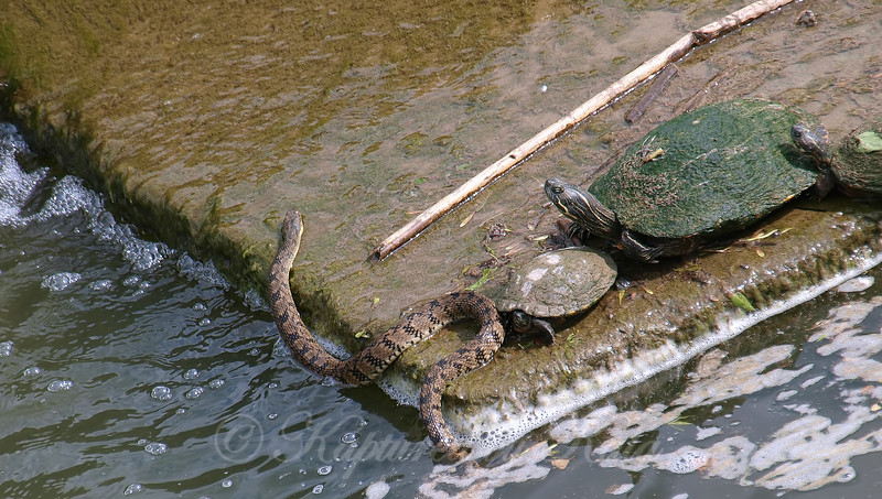 A Snake Joins The Turtles
