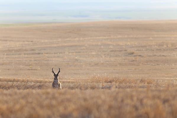 Antelope Hide-and-Seek