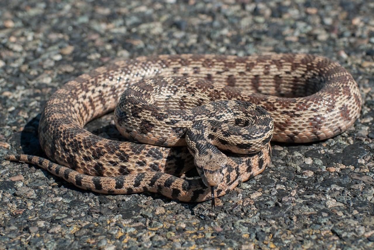 Gopher Snake aka Bull Snake