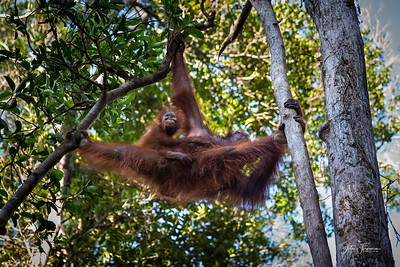 Orangutangs, Tanjung Puting