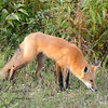 Red Fox at Hecla Island