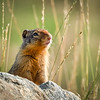 Ground Squirrel in Golden Glow