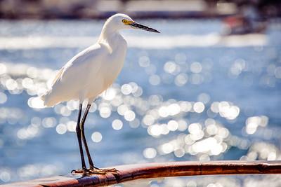 Egret in San Diego