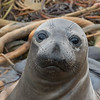 Weaner Elephant Seal Pup