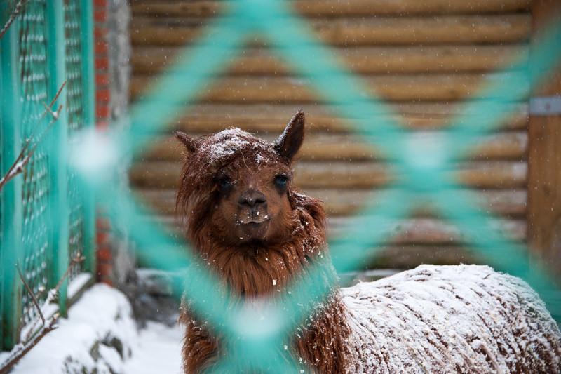 Hipster Alpaca