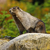 Canadian Marmot, looking for blood