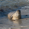 061816 Seal - Point Cabrillo - Pacific Grove 025 5x7L