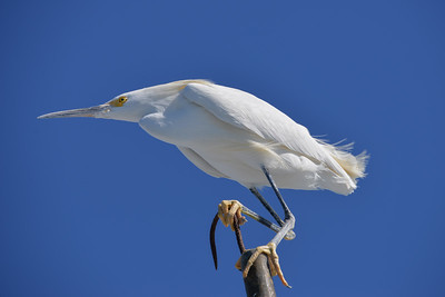 Egret posing