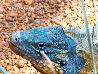 Turquoise Lizard Face