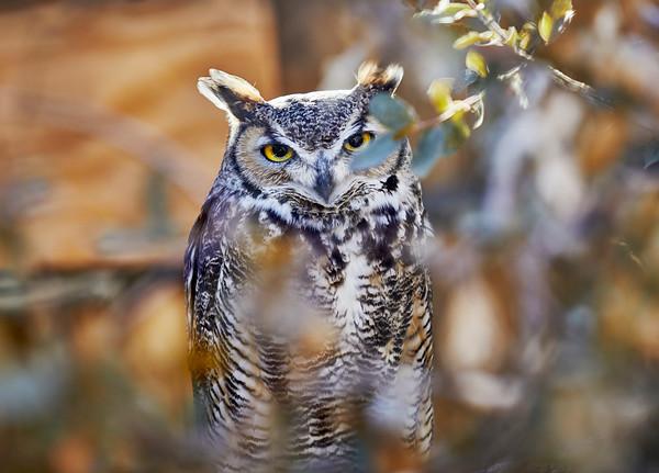 Great Horned Owl sitting inside a bush