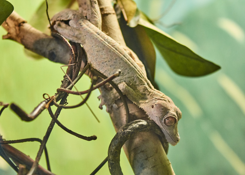 <h1> Henkel's Leaf-tailed Gecko</h1> <p>Vince Mullen is a photographer in Batavia, NY. See more of my <a>Animals at Convincedimaging.com</a></p>
