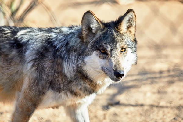 Mexican Gray Wolf walking towards camera
