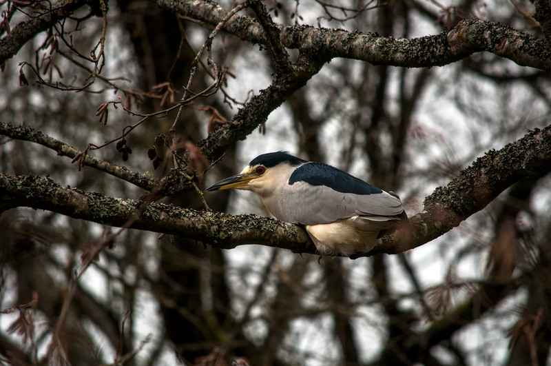 Black-crowned Night Heron (Nycticorax nycticorax) laying down