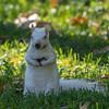 Snowball the albino squirrel