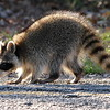 Raccoon On The Walking Path View 2