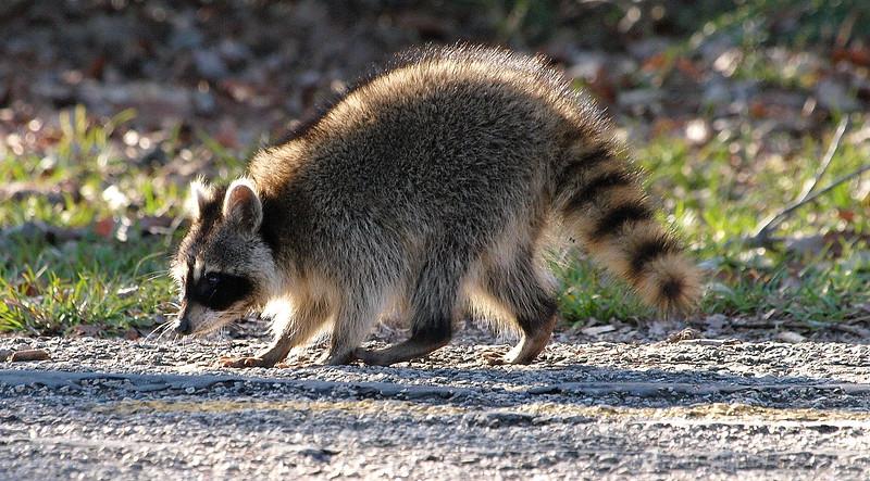Raccoon On The Walking Path View 2