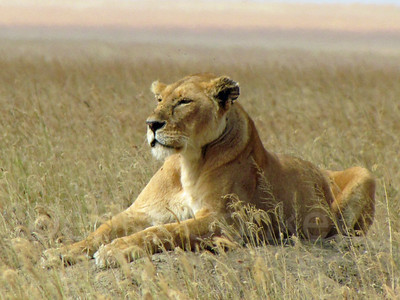 Lion on mound, Serengeti National Park, Tanzania, East Africa
