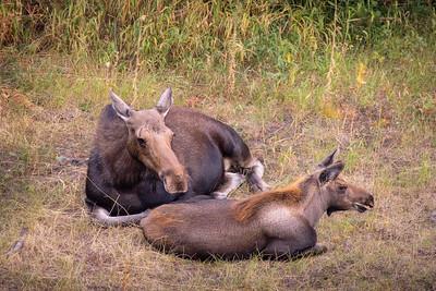 Momma Moose & Calf || Grand Teton National Park