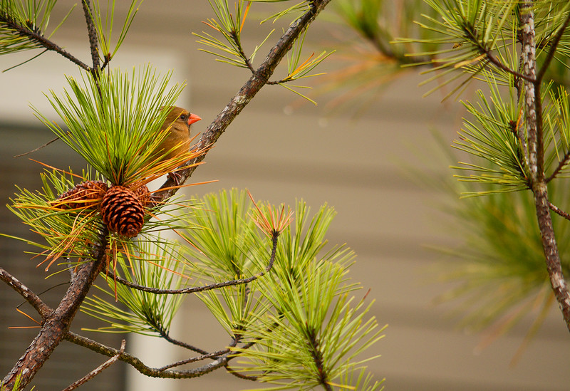 Beautiful  bird  (Northern Cardinal sitting on pine tree branch.