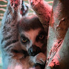 Lemur basking in the heat lamp