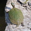 Texas Cooter View 2