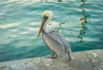 Pelican Beauty