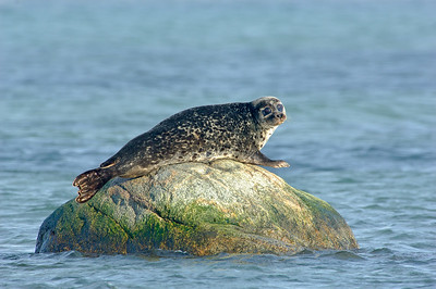 Common seal , Knubbsäl
