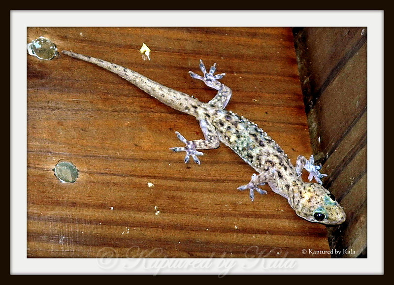 Nocturnal Creature, Gecko