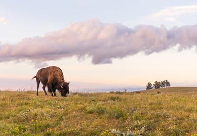 Lone Bison in Black Hills, South Dakota