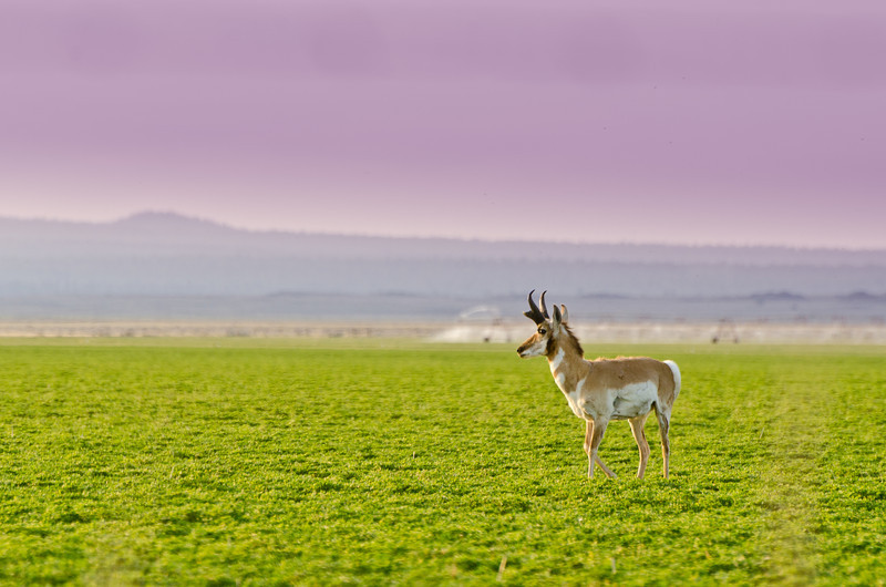 Lone Antelope