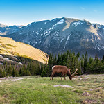 Bull elk with beautiful antlers on early summer evening. Rocky Mountain National Park, Colorado, USA