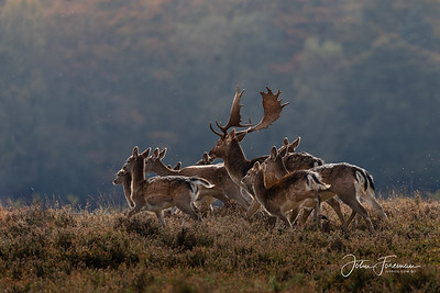 Fallow buck and hinds, New Forest